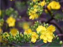 9-4 hoa mai